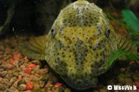 foto 6: Cochliodon macushi/Hypostomus macushi (L303)