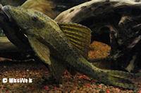 foto 7: Cochliodon macushi/Hypostomus macushi (L303)