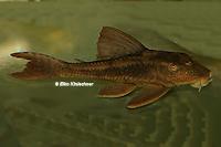 Bild 4: Cochliodon basilisko/Hypostomus basilisko