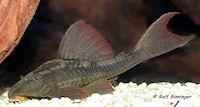 Bild 3: Cochliodon basilisko/Hypostomus basilisko