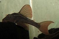 Bild 8: Cochliodon basilisko/Hypostomus basilisko