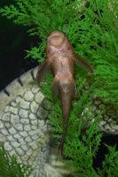 Bild 7: Cochliodon basilisko/Hypostomus basilisko
