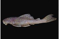 Hypostomus perdido, holotype, MZUSP 111064, 159.1 mm SL, Brazil, Mato Grosso do Sul State, Bodoquena, rio Paraguai basin, rio Perdido.