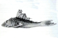 Hypostomus simios sp. n. MZUSP 82268, holotype (177.1 mm SL)
