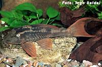 Bild 3: Cochliodon soniae/Hypostomus soniae (L137)