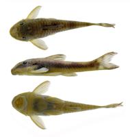 Pic. 3: Corumbataia acanthodela, holotype, MZUSP 125794, male 27.9 mm SL, from Rio Maranhão, Rio Tocantins basin, Niquelândia, Goiás, Brazil