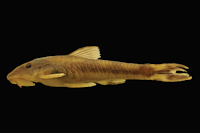Curculionichthys coxipone, MZUSP 117380, holotype, female, 29.0 mm SL, from Mato Grosso State, municipality of Cuiabá, tributary of Rio Aricá Mirim, Rio Cuiabá drainage, 15°46
