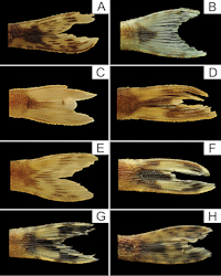 Bild 2: Coloration pattern of caudal fin of Curculionichthys species.