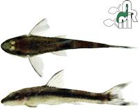 Bild 3: Curculionichthys insperatus
