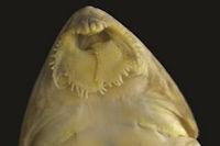 Bild 43: Dasyloricaria filamentosa