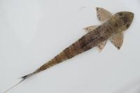 foto 4: Dasyloricaria filamentosa