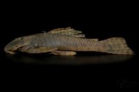 Bild 4: Dolichancistrus fuesslii (L 442) - Universidad De Los Llanos, Sede Barcelona.