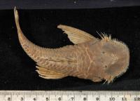 Bild 4: Dolichancistrus setosus/Cordylancistrus setosus (L225)
