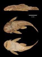 Bild 5: Dolichancistrus setosus/Cordylancistrus setosus (L225)