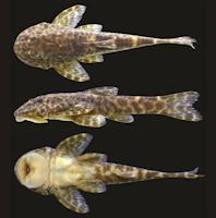 Bild 3: Eurycheilichthys luisae, new species, holotype, MCP 40662, 42.5 mm SL, male, Brazil, Rio Grande do Sul, Arvorezinha, arroio Três Pontes.