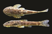 Eurycheilichthys vacariensis, new species, holotype, MCP 40659, 47.6 mm SL, male, Brazil, Rio Grande do Sul, Muitos Capões, arroio Espeto or rio Soares.