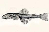 Exastilithoxus fimbriatus, Holotype