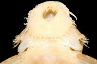 Bild 49: Exastilithoxus hoedemani