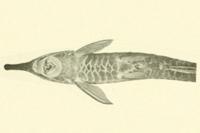 Bild 3: Farlowella jauruensis