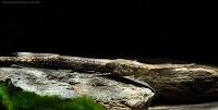 Bild 2: Farlowella platorynchus