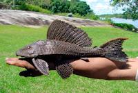"Glyptoperichthys cf. gibbiceps ""Venezuela"""