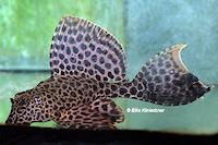 Pic. 6: Glyptoperichthys gibbiceps/Pterygoplichthys gibbiceps (L165)
