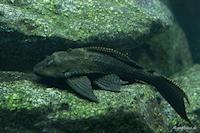 Pic. 8: Glyptoperichthys gibbiceps/Pterygoplichthys gibbiceps (L165)