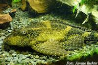 Pic. 3: Glyptoperichthys gibbiceps/Pterygoplichthys gibbiceps (L165)