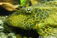 Pic. 4: Glyptoperichthys gibbiceps/Pterygoplichthys gibbiceps (L165)