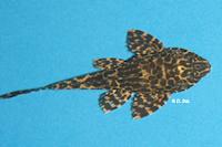 Pic. 5: Glyptoperichthys gibbiceps/Pterygoplichthys gibbiceps (L165)