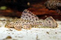 Pic. 11: Glyptoperichthys gibbiceps/Pterygoplichthys gibbiceps (L165)