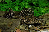 Pic. 3: Glyptoperichthys joselimaianus/Pterygoplichthys joselimaianus (L1)