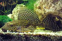 Glyptoperichthys joselimaianus/Pterygoplichthys joselimaianus (L1)