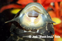 foto 55: Glyptoperichthys joselimaianus (L 1)