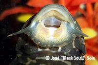 Bild 6: Glyptoperichthys joselimaianus/Pterygoplichthys joselimaianus (L1)