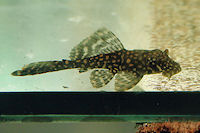 Pic. 4: Glyptoperichthys joselimaianus/Pterygoplichthys joselimaianus (L1)