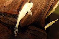 """Glyptoperichthys gibbiceps """"albino"""""""