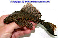 """Bild 3: Glyptoperichthys cf. gibbiceps/Pterygoplichthys cf. gibbiceps """"L83"""""""