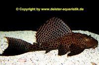 """Glyptoperichthys cf. gibbiceps """"L83"""""""