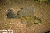 Glyptoperichthys lituratus (L 196)