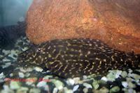 Glyptoperichthys parnaibae
