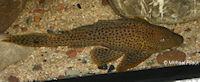 Bild 3: Glyptoperichthys punctatus/Pterygoplichthys punctatus