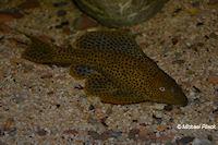 Glyptoperichthys punctatus