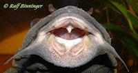 Bild 54: Glyptoperichthys scrophus