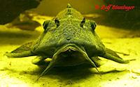 foto 5: Glyptoperichthys scrophus/Pterygoplichthys scrophus