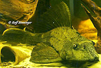 Bild 4: Glyptoperichthys scrophus/Pterygoplichthys scrophus