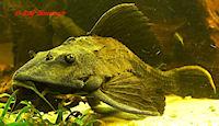 foto 8: Glyptoperichthys scrophus/Pterygoplichthys scrophus