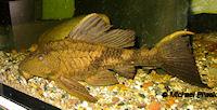 Glyptoperichthys scrophus/Pterygoplichthys scrophus