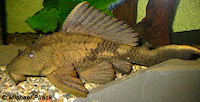 foto 3: Glyptoperichthys scrophus/Pterygoplichthys scrophus