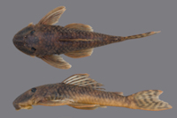 Guyanancistrus brevispinis bifax.